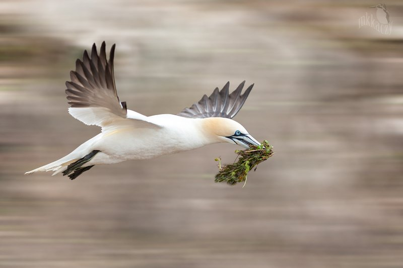 Gannet with weeds for nestphoto preview