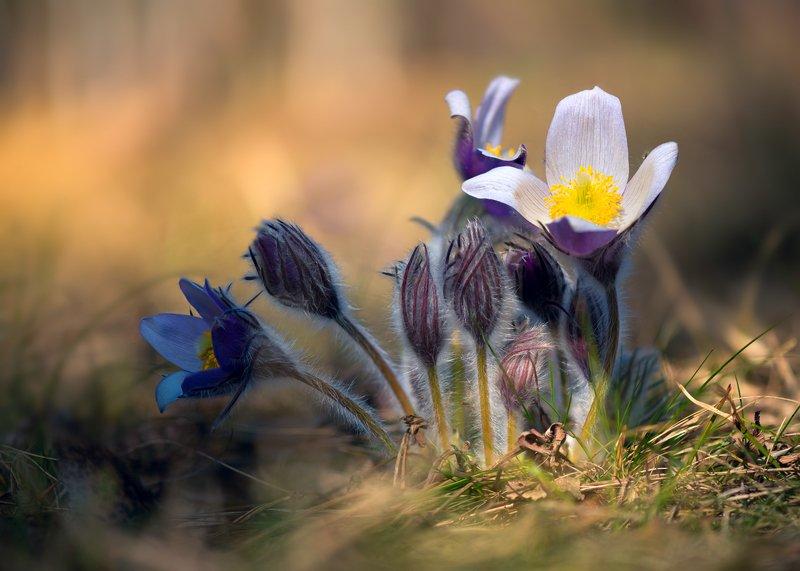 весна, цветы, сон-трава Греясь в закатных лучахphoto preview