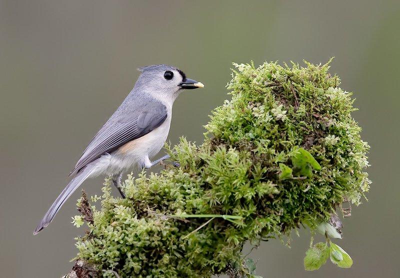 titmouse, tufted, острохохлая синица, синица, птицы сша Tufted Titmouse -Острохохлая синицаphoto preview