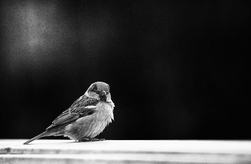 птицы, чб фото, город Воробейphoto preview