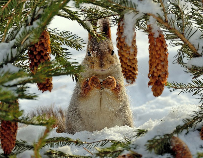 природа, фотоохота, дикие животные, зима белка Улыбкаphoto preview