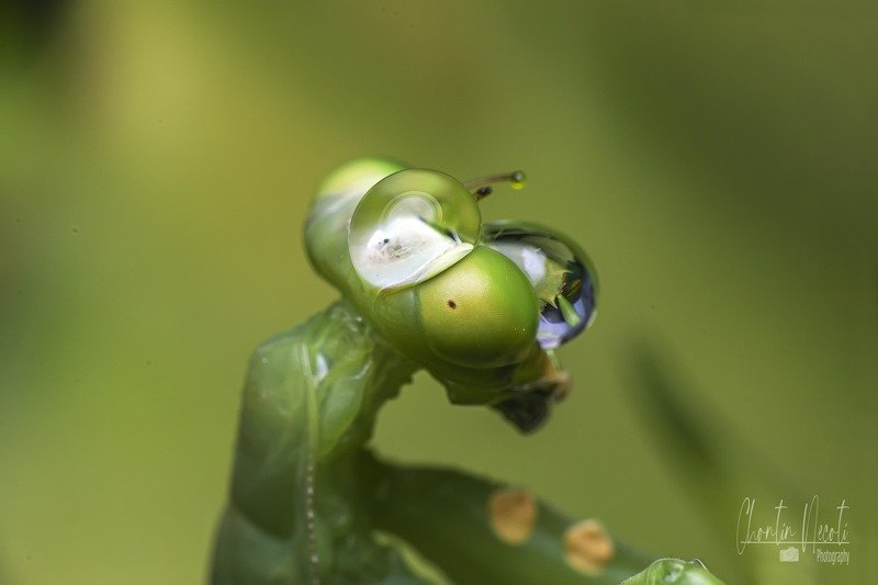 Water, drop, dew, green, small, animal, insect, garden, nature, natural, wildlie, macro, close up, beauty, beautiful, mantis, prey, fly, eating,  Mantis and drop dews!photo preview