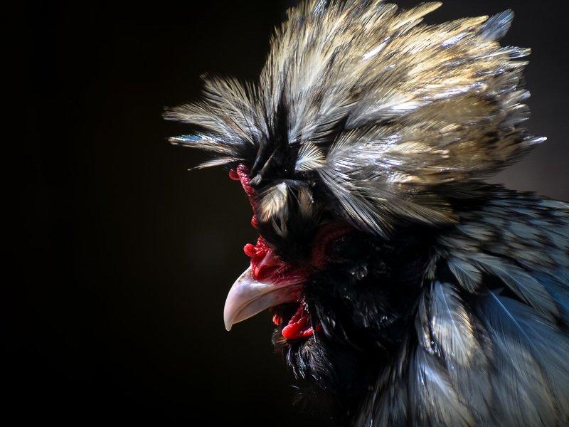 животные, птица, природа, курица Вождь.photo preview