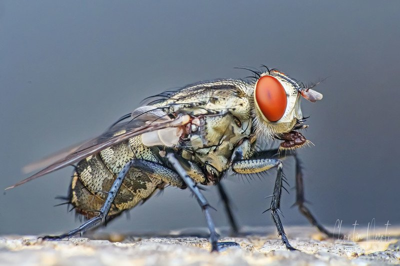 calliphoridae, garden, outdoor, macro, beauty, beautiful, red, color, blue, macro, close up, animal, insect, eyes, fly, wings Macro of flyphoto preview