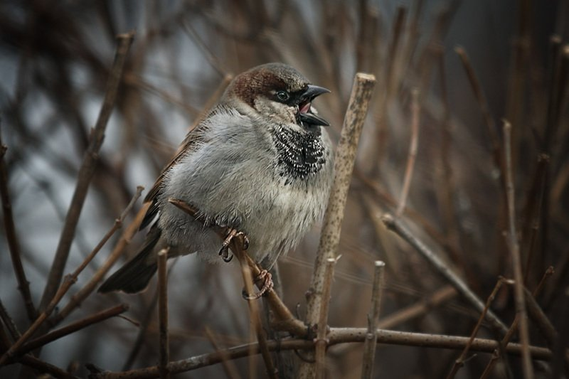 птицы, город Поговорим о весне. Московский воробейphoto preview