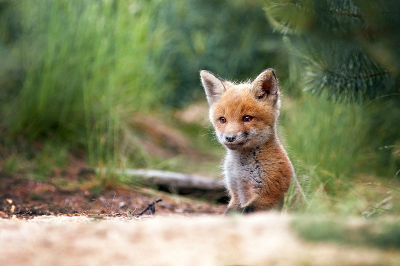 fox, wildlife, forest, burrow Burrowphoto preview