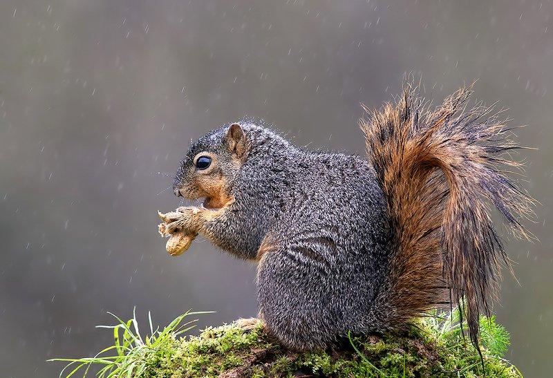 белка, squirrel, лисья белка, fox squirrel, животные,animals Fox Squirrel in rain - Лисья Белкаphoto preview