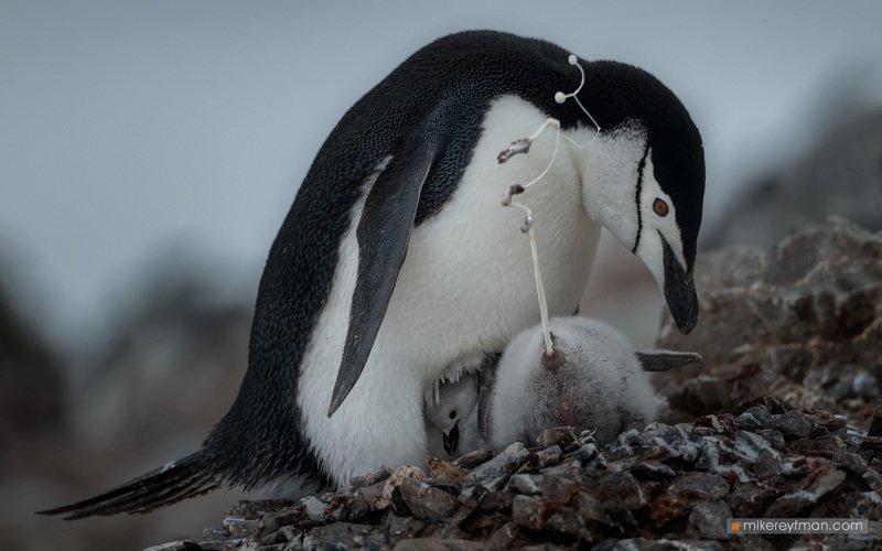 coronavirus, toilet paper, infodemic, chinstrap penguins, antarctic Life Hack for Toilet Paper Crisisphoto preview