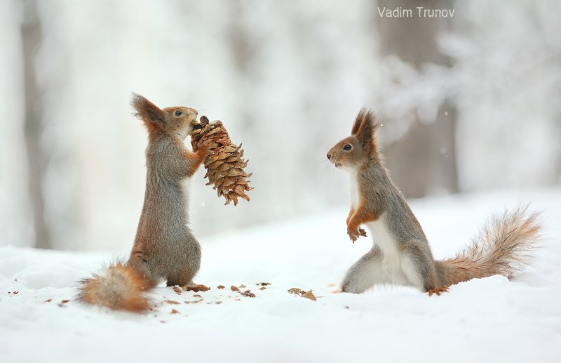 белка, шишка, зима, squirrel ***photo preview