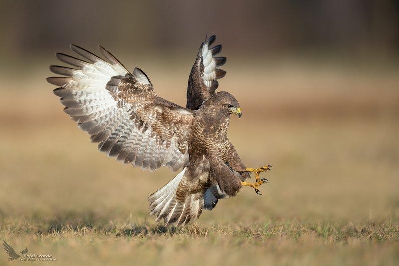 birds, nature, animals, wildlife, raptors, wings, meadow, flight, landing, nikon, nikkor, lens, lubuskie, poland Myszołów, Common Buzzard (Buteo buteo) ...photo preview