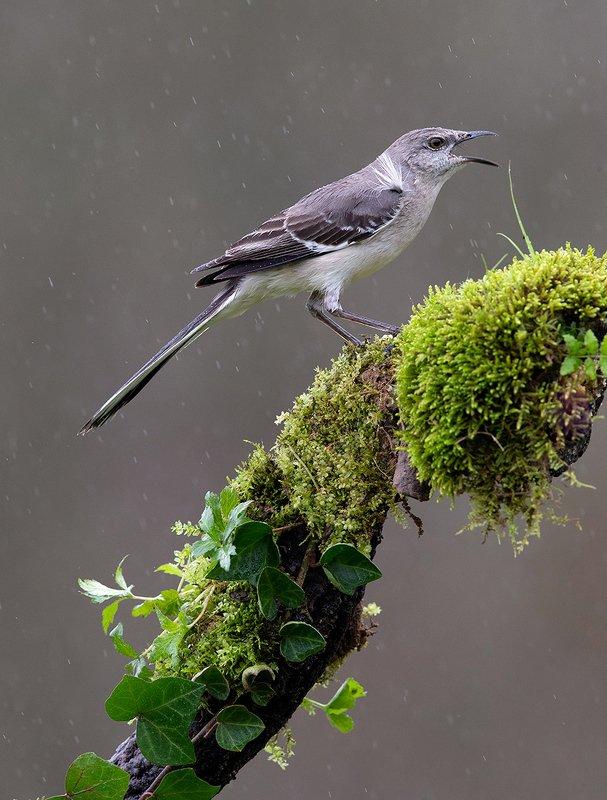 многоголосый пересмешник, northern mockingbird, пересмешник Многоголосый пересмешник - Northern Mockingbirdphoto preview