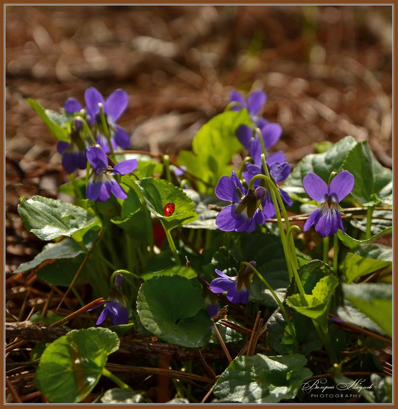 весна, март, сосновый лес, фиалки Сказки весеннего лесаphoto preview