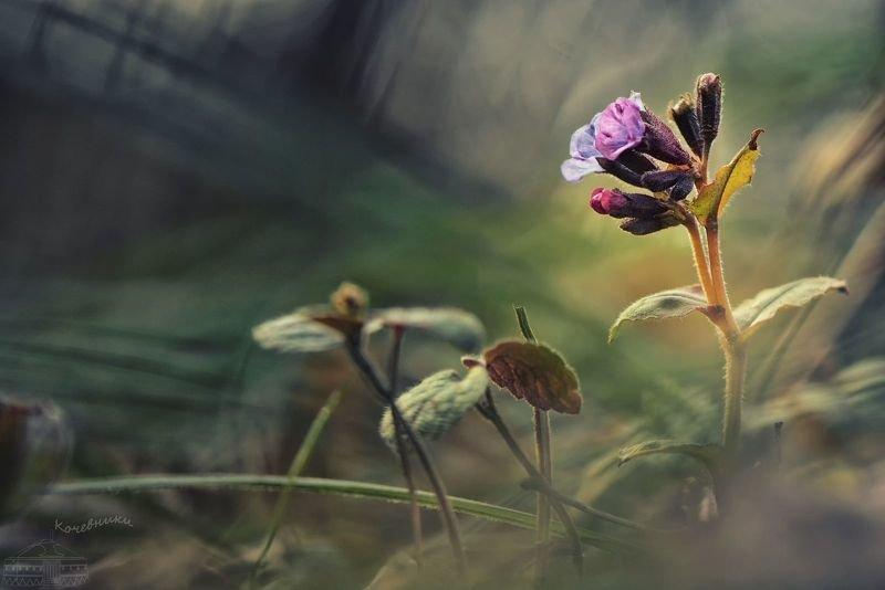 Дыхание весны. Медуница неяснаяphoto preview