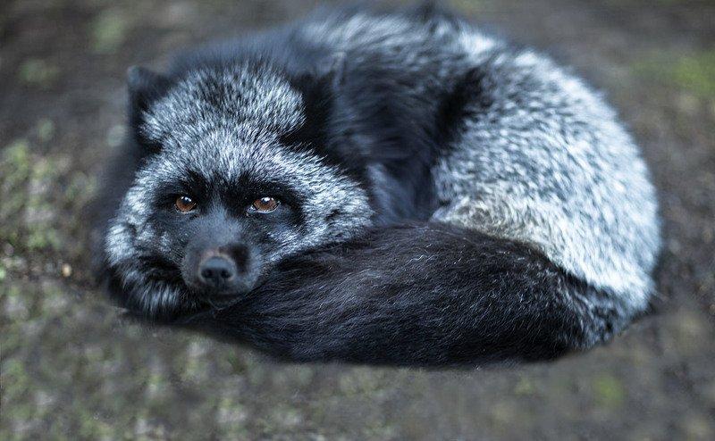 лисица, чернобурая,красотка,foxy, wildlife, animal, black fox, nature Шерстяное счастьеphoto preview