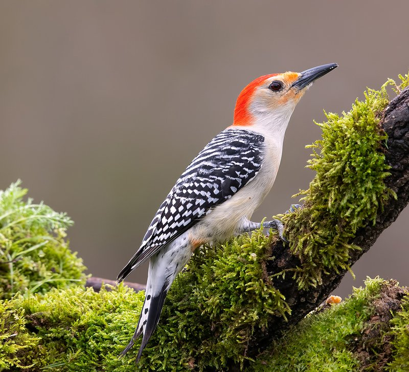 дятел, каролинский меланерпес, red-bellied woodpecker, woodpecker Red-bellied Woodpecker - Каролинский меланерпесphoto preview