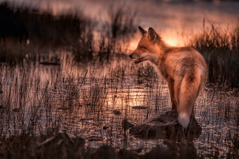 Red Fox in Sunsetphoto preview