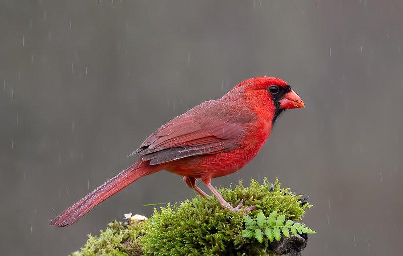 красный кардинал, northern cardinal, cardinal,кардинал Красный кардинал - Northern Cardinal malephoto preview