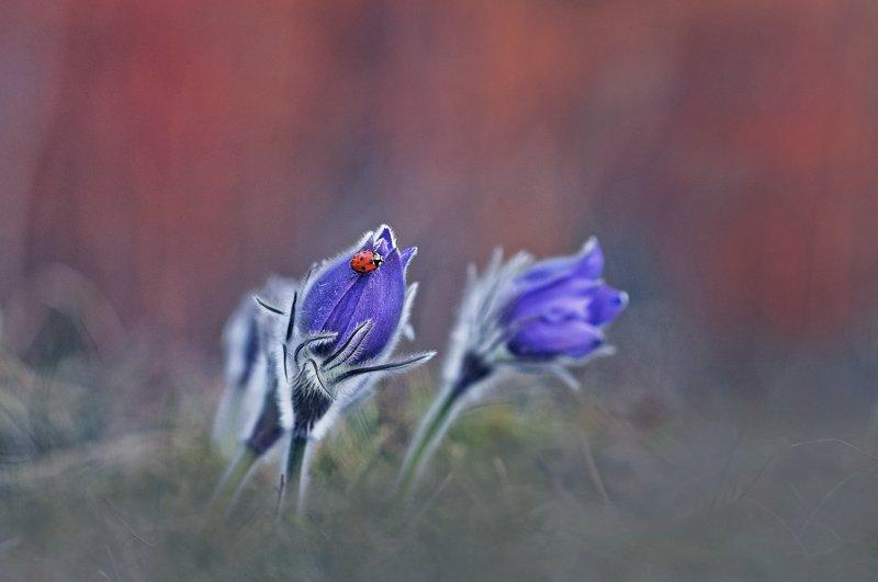 сон-трава, закат, весна, природа ***photo preview