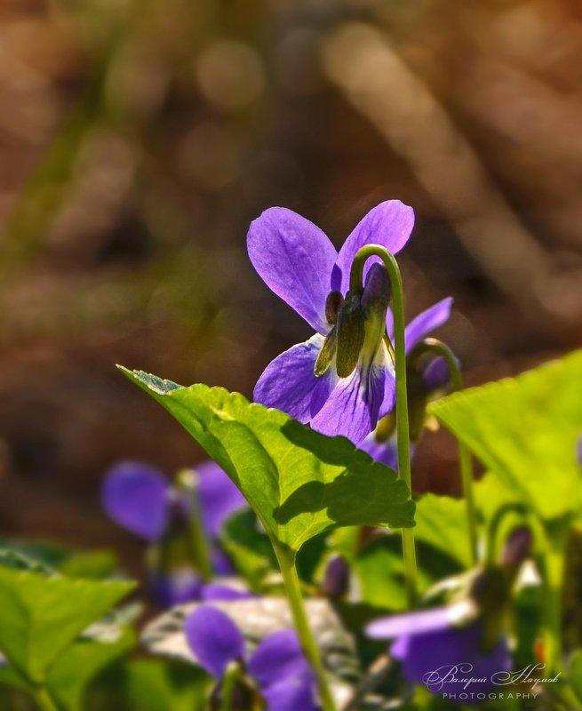 весна, март, сосновый лес, фиалки Фиалковый этюдphoto preview