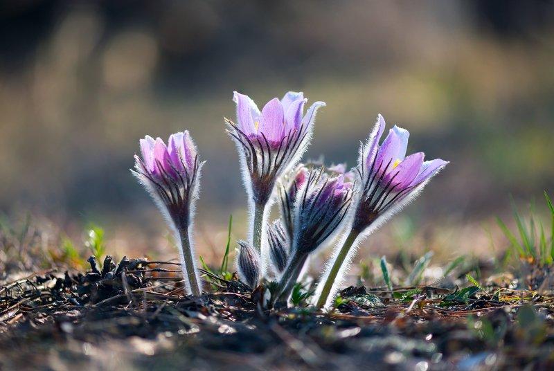 лес, весна, цветы, сон-трава Нежностьphoto preview