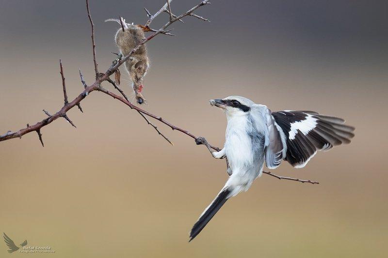 birds, nature, animals, wildlife, mouse, raptors, wings, nikon, nikkor, lubuskie, poland, winter Srokosz, Great Grey Shrike (Lanius excubitor) ...photo preview