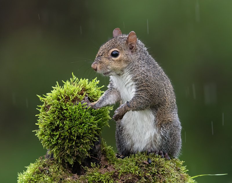 белка, squirrel, лисья белка, fox squirrel, животные,animals Лисья Белка -Fox Squirrelphoto preview