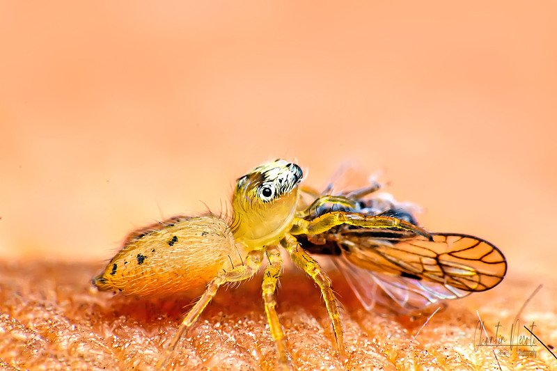 Jumping, spider, eating, animal, small, beauty, beautiful, insect, outdoor, natural, nature, macro, close up, prey Jumping spiders are eating!photo preview