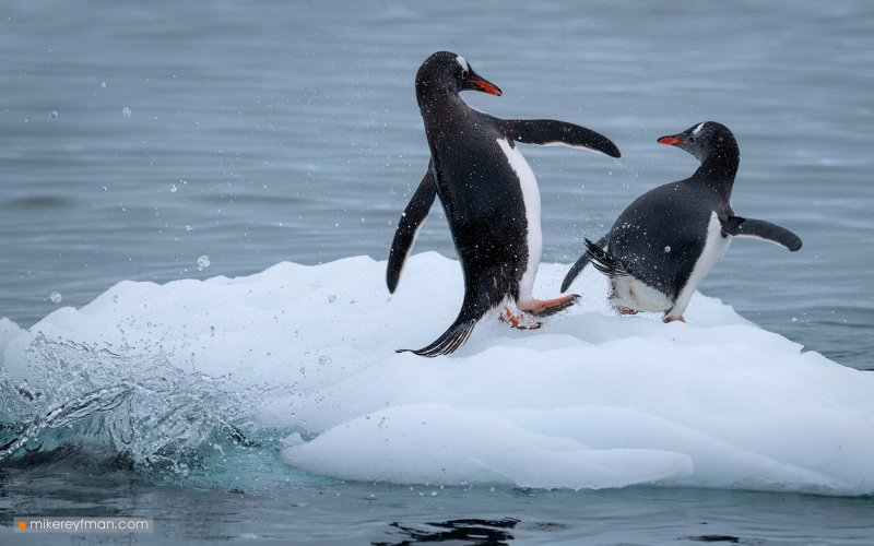 iceberg, gentoo_penguin, polar_climate, antarctic, antarctica,  cold, extreme, социальное_дистанцирование,social_distancing, kicking-ass Пендель как способ Социального Дистанцированияphoto preview
