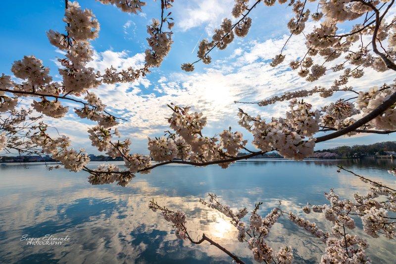 сакура вашингтон весна цветение Цветение сакурыphoto preview
