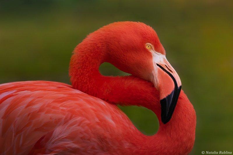 птицы,животные,фламинго,портрет,задумчивость,настроение Задумчивый Фламинго...photo preview
