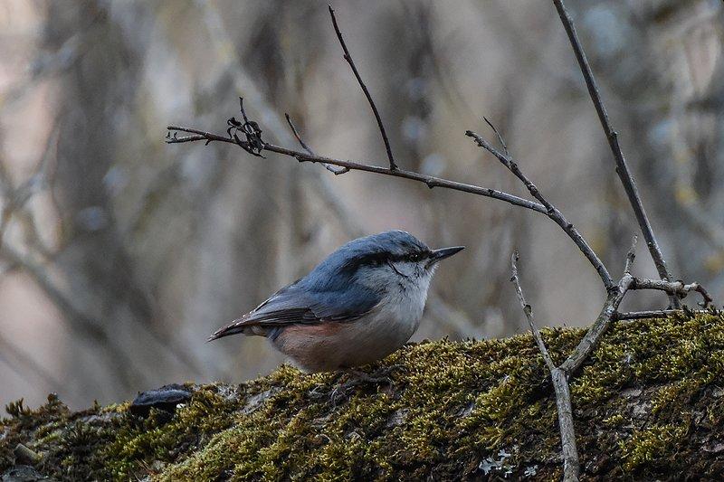поползень,птицы,животные,природа Я под веточкой сижу, я на веточку гляжуphoto preview