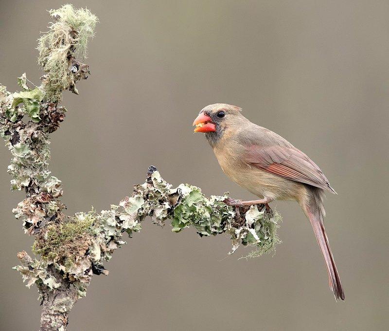красный кардинал, northern cardinal, cardinal,кардинал Female Northern Cardinal - Самка. Красный кардиналphoto preview