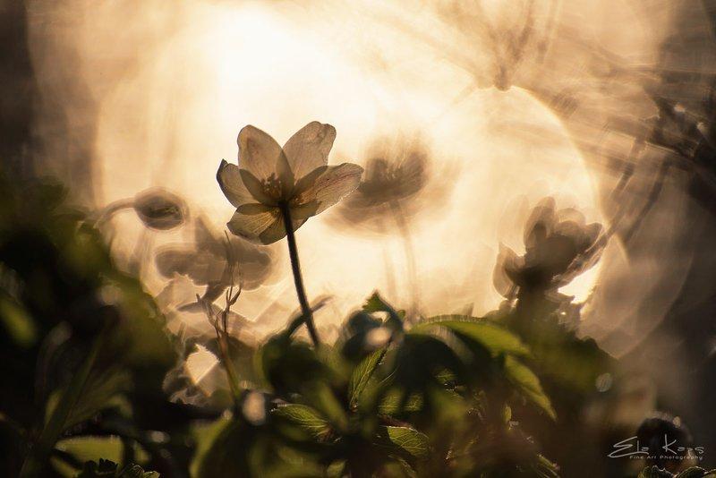 wiosna,spring,natura,kwiaty,flowers,zawilec, anemone Zawilec gajowyphoto preview