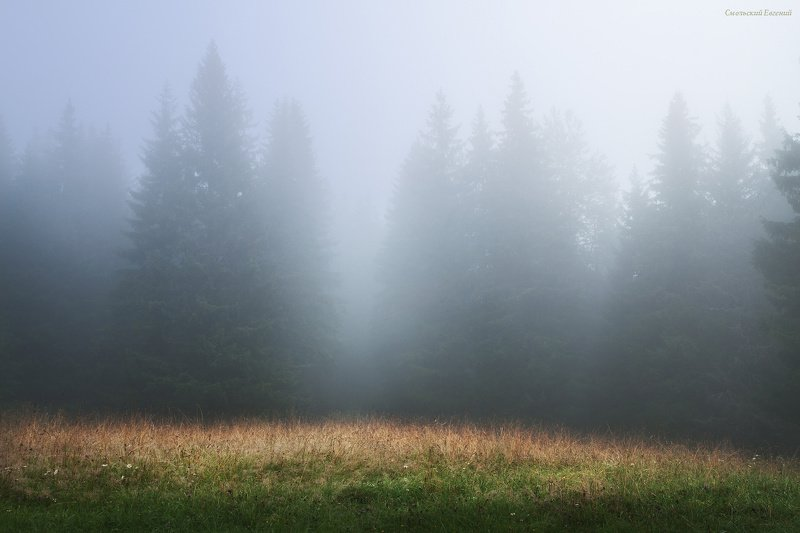 туман, лес, ельник, утро, лето. В утреннем туманеphoto preview