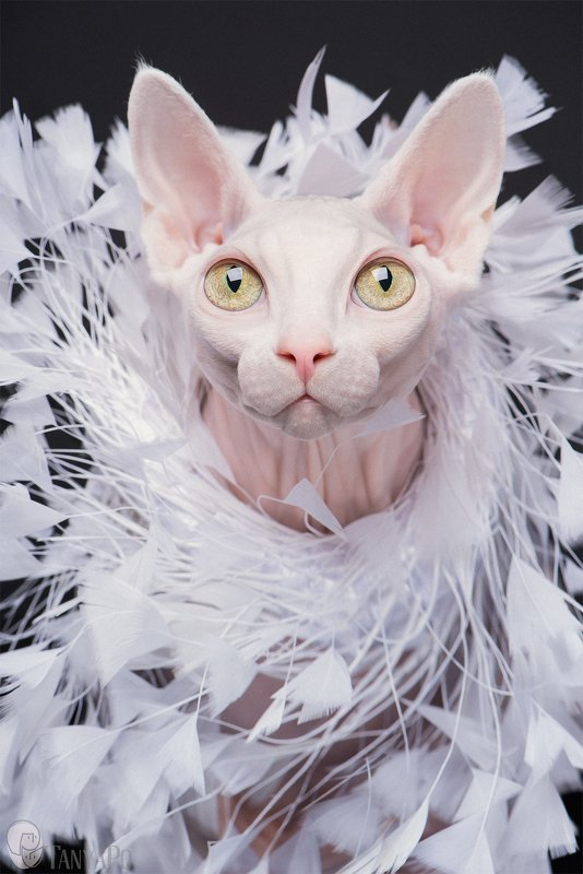 sphynx, cat, canadian sphynx, pink cat, fashion cat, сфинкс, канадский сфинкс, кошка, кот Fashion for naked catsphoto preview