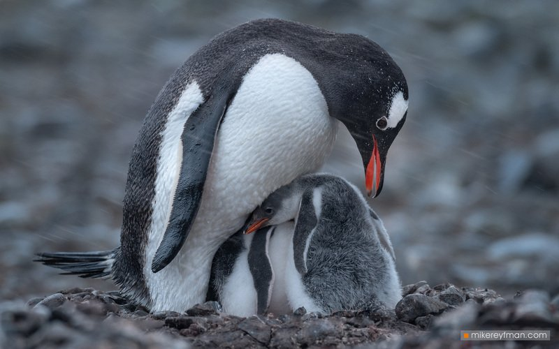 gentoo, penguin, polar climate, antarctic, antarctica,  cold, extreme Под Маминым Kрыломphoto preview