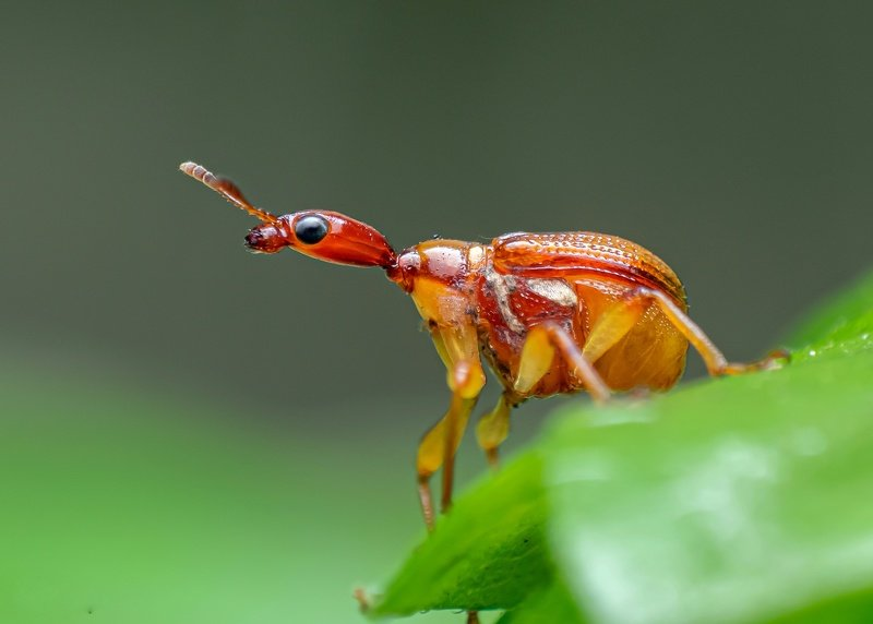 macro wildlife closeup insects spiders Leaf rolling weevil photo preview