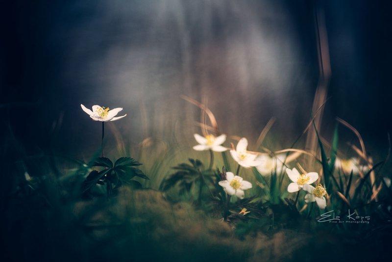 las,forest,spring,wiosna,natura,poland W zawilcowym lesiephoto preview