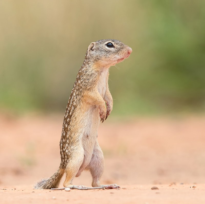 mexican ground squirrel, squirrel, белка, texas, tx Земляная Белка -Mexican ground squirrelphoto preview