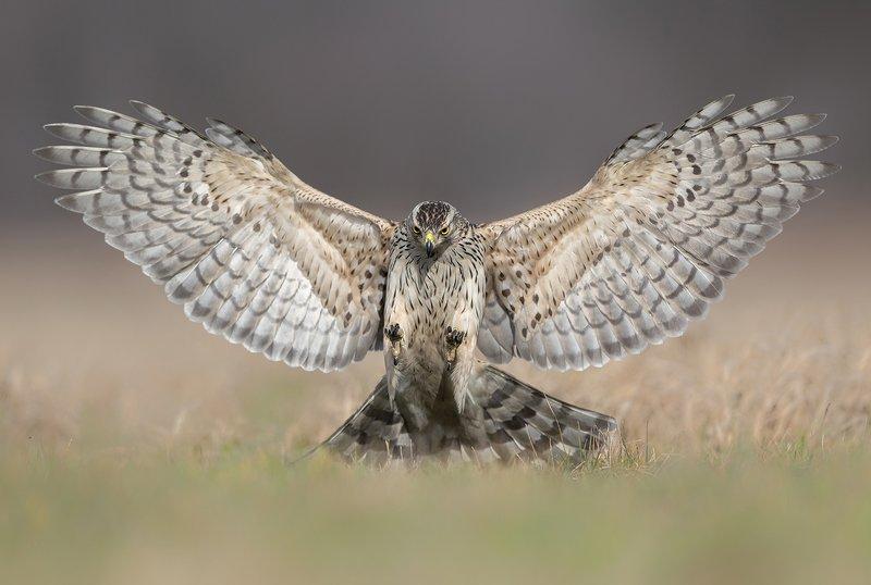 goshawk, birds, wildlife, animals, Attackphoto preview