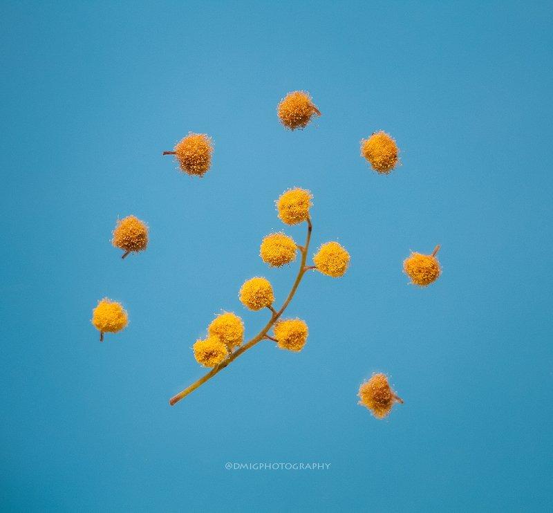 макро, растение, мимоза, цветок, природа, весна, макромир, макросъемка, фон, цвет,  ***photo preview