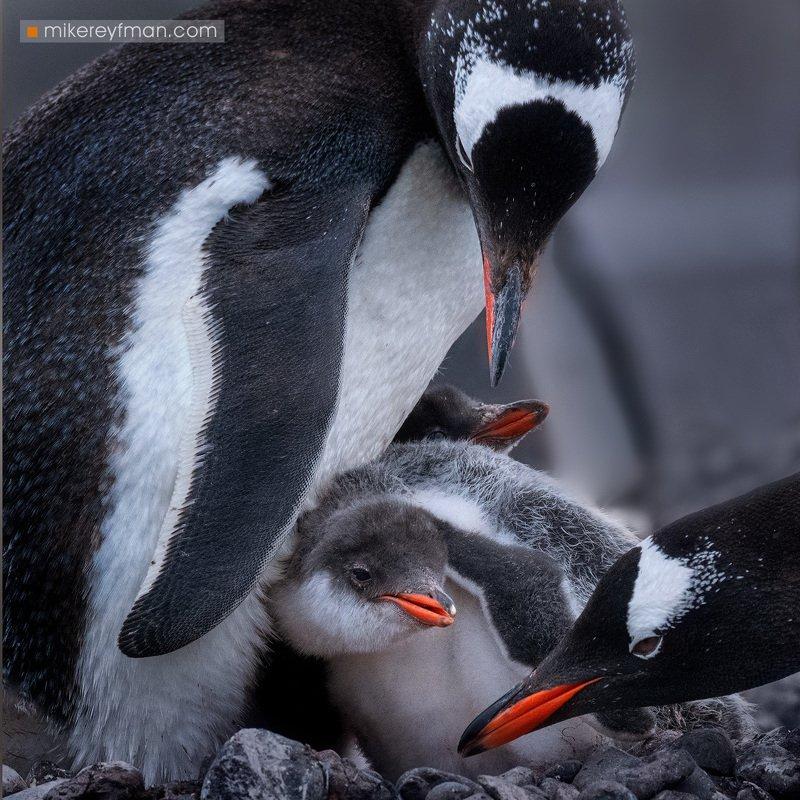 gentoo, penguin, polar climate, antarctic, antarctica,  cold, extreme В Кругу Семьиphoto preview