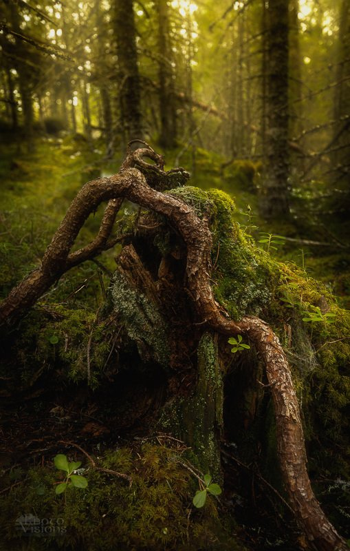 nature,forest,woodland,boreal,norway,norwegian,scandinavia,green,fantasy,moss,tree,trees, From below...photo preview