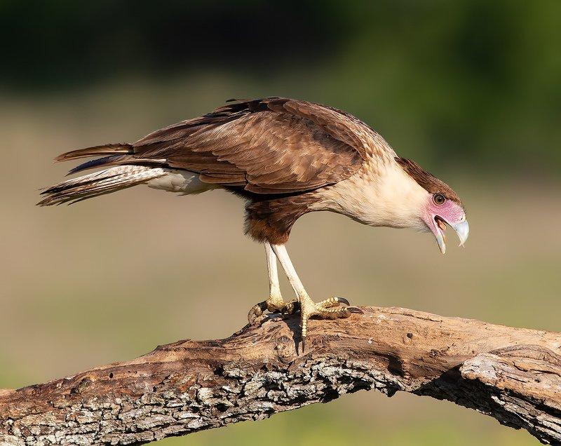 каракара, crested caracara, caracara, tx, texas, хищные птицы Crested Caracara  - Молодая Каракараphoto preview