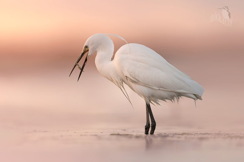 Little egret with sticklebackphoto preview