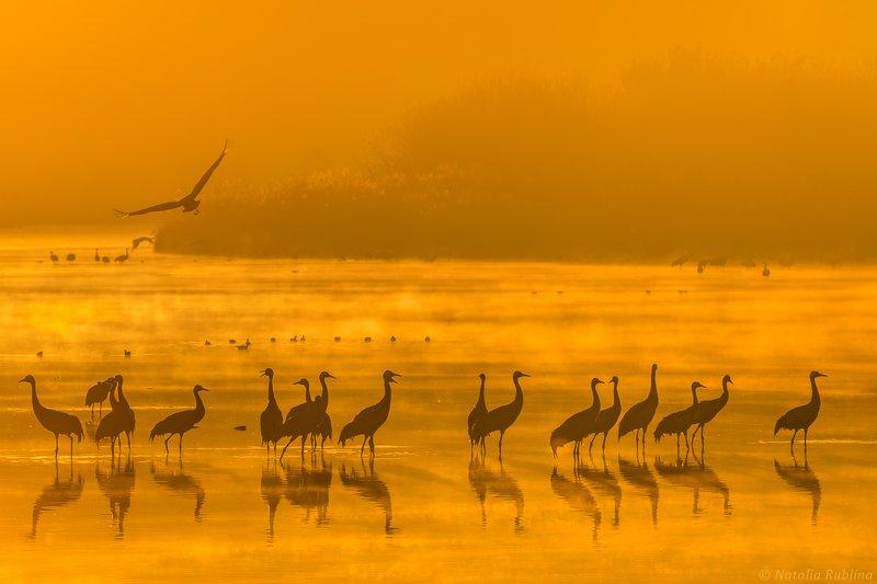 природа,птицы,животные,журавли,рассвет,утро,туман,отражения,стая птиц,магия природы,золотой туман Журавушки в золотом тумане на рассвете...photo preview