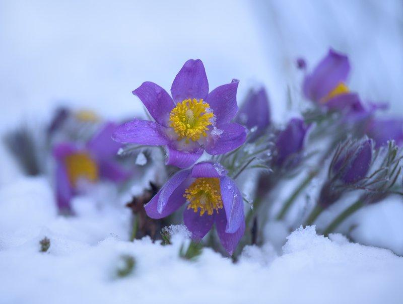 весна, март, снег, цветы, сон-трава Причуды весныphoto preview