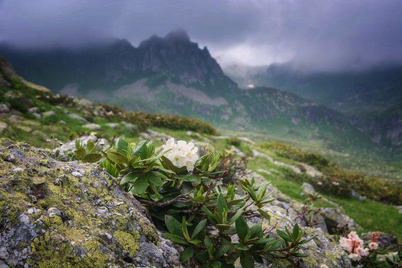 кавказ,горы,цветы про куст рододендроновphoto preview