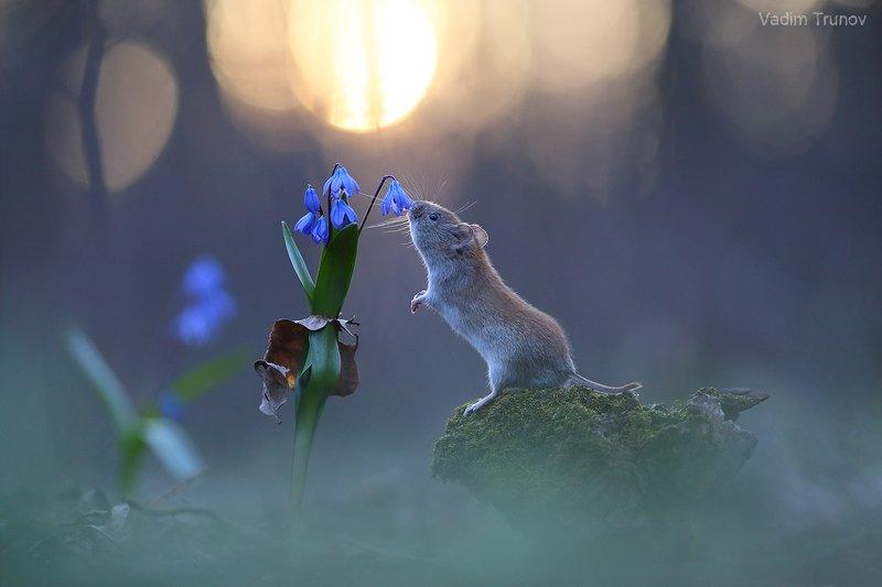 мышь, подснежник, весна ***photo preview