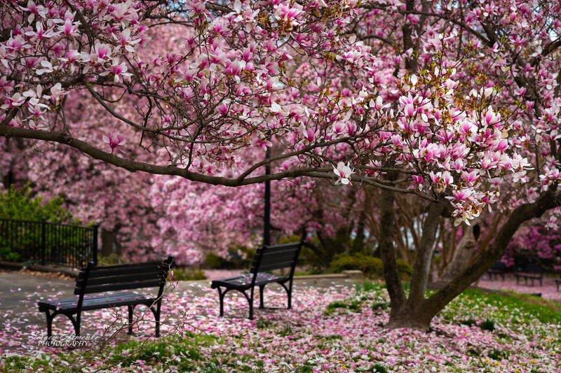 вашингтон магнолия цветение пейзаж весна Волшебство весныphoto preview